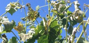 Frost-damage